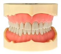 Модель тренировочная со съёмными зубами (нижняя челюсть) HTS-A5-01L