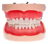 Модель тренировочная со съёмными зубами (нижняя и верхняя челюсть) HTS-A10 200Н