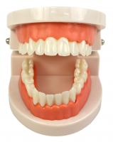 Модель челюсти Azdent